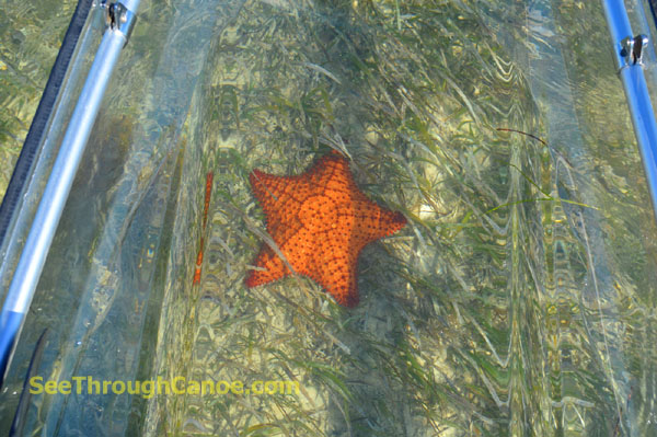 Starfish under the clear kayak.
